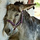 Stuart  - PrimRose Donkey Sanctuary by Jeff Kitchen