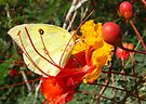 Butterfly~ Southern Dogface on Bird of Paradise by Kimberly Chadwick