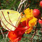 Butterfly~ Southern Dogface on Bird of Paradise by Kimberly Chadwick