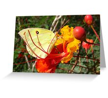 Butterfly~ Southern Dogface on Bird of Paradise Greeting Card