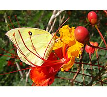 Butterfly~ Southern Dogface on Bird of Paradise Photographic Print