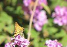Butterfly ~ Fiery Skipper (Grass Skipper, Skipperling) by Kimberly Chadwick