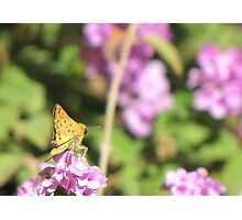Butterfly ~ Fiery Skipper (Grass Skipper, Skipperling) Photographic Print