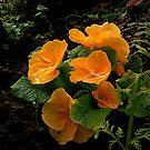 Yellow Polyanthus.....! by Roy  Massicks