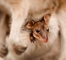 Little Wallaby Joey in mums pouch by Marc Russo