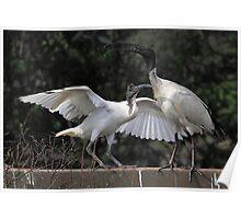 Australian White Ibis, South Australia  Poster