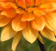 Petals Orange by lorilee