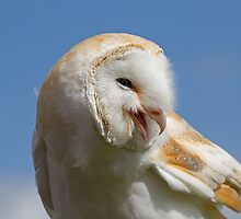 Furry Barn Owl