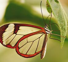 UP CLOSE & PERSONAL THE GLASSWINGED BUTTERFLY by Johan  Nijenhuis