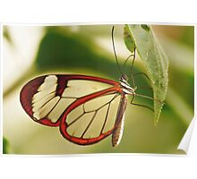 UP CLOSE & PERSONAL THE GLASSWINGED BUTTERFLY Poster