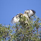 Red Tail Flash of White by DARRIN ALDRIDGE