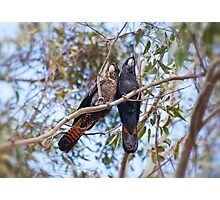 Red tail Black Cockatoo, Perth Western Australia Photographic Print