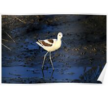 Simple Shorebird the American Avocet Poster
