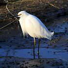 Snowy Egret Up Close by DARRIN ALDRIDGE
