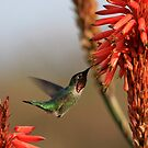 Hummingbird On Aloe by DARRIN ALDRIDGE