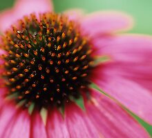 Cone Flower by Gregory L. Nance