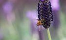Bee on Lavender by yolanda