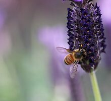 Bee on Lavender by yolanda