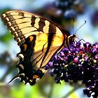Butterfly and the Buddleia by vicjauron
