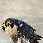 Peregrine Falcon at Cocoa Beach by vicjauron