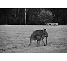 Eastern Grey Kangaroo (black and white) Photographic Print
