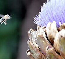 Pollen covered bee with artichoke flower by Chris Samuel