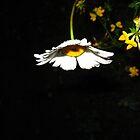 Illuminated Daisy by Tonee Christo