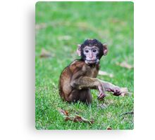 Young Barbary Monkey Canvas Print