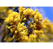 Wattle tree in flower, National Rhododendron Gardens Photographic Print