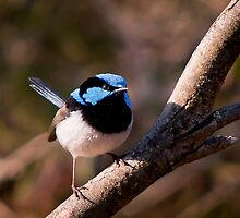 Superb Fairy-Wren by Ryan Cawse