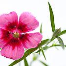 Pink Petunia by Neil Clarke