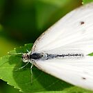 White Fly by vasu