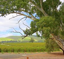 Barossa Valley by aussiedi