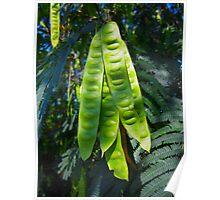 Mimosa Tree Pods North Carolina USA By Jonathan Green Poster