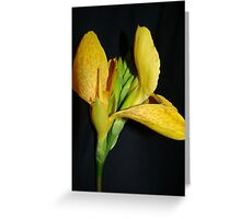 Canna Lily~ Greeting Card