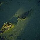 An American Alligator in shallow algae filled water by Ann Reece