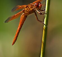 Smiling dragonfly by Celeste Mookherjee