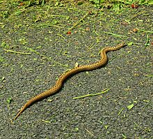 Snake on Tarmac by VoluntaryRanger