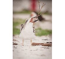 """""""Tree Stand?"""" - A Juvenile Black Skimmer Photographic Print"""