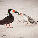 """Feeding Time"" - young black skimmer being fed by ArtThatSmiles"