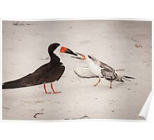 """""""Feeding Time"""" - young black skimmer being fed Poster"""