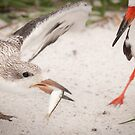 """Catch of the Day"" - mother feeds young black skimmer by ArtThatSmiles"