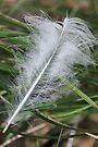 Feather In The Wind by NatureGreeting Cards ©ccwri