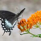 Swallowtail On Milkweed by Jean Gregory  Evans