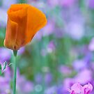 Poppy orange  by DIANE  FIFIELD