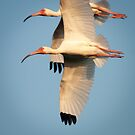 """Dual Flight"" - Ibis in Sync by John Hartung"