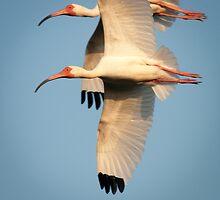"""Dual Flight"" - Ibis in Sync by John Hartung"