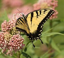 Eastern Tiger Swallowtail by Gregg Williams