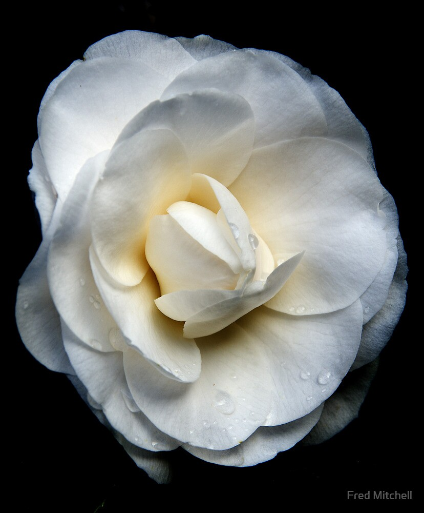 Tom's Camelia 201108101547 by Fred Mitchell