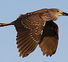 Juvenile Black Crowned Night Heron in Flight by Paulette1021